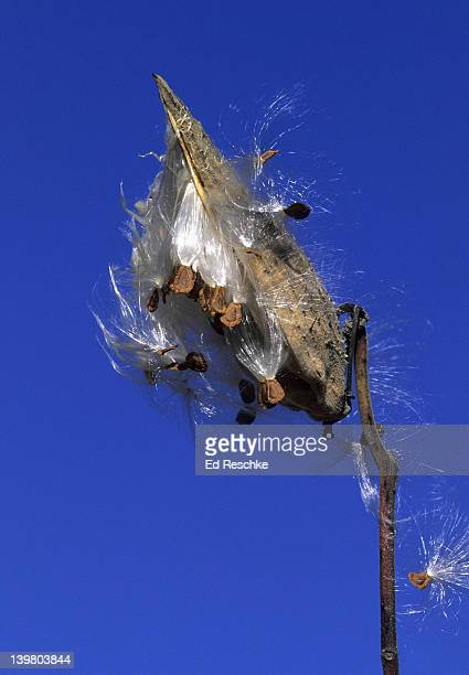 seed dispersal; common milkweed, asclepias syriaca. pod splits open, seeds covered with tufts of silky hairs.  wind disperses the seeds.  michigan - milkweed stock pictures, royalty-free photos & images
