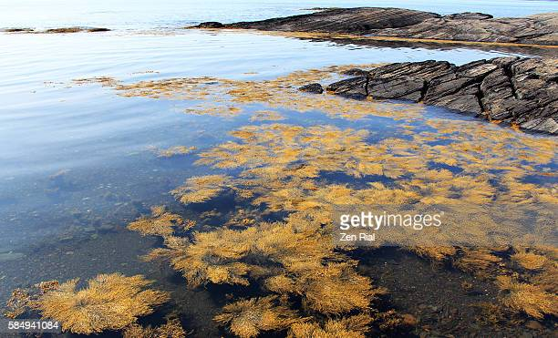 Ascophyllum nodosum (Brown alga) - a bed of seaweeds or algae in the waters of Blue Rocks, Nova Scotia, Canada