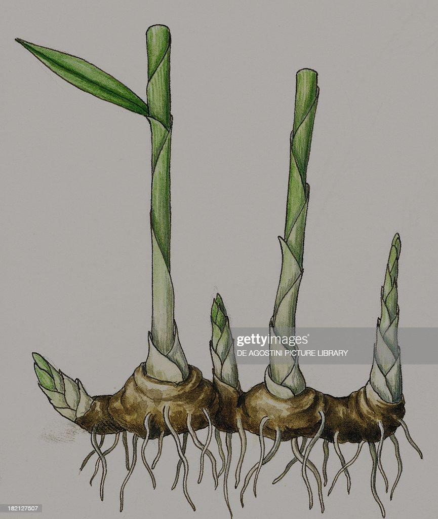 Asexual reproduction of Ginger , Zingiberaceae, drawing  News Photo
