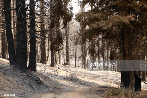 Ash covered ground appears like snow as a group from Save The Redwoods League walk through the 530 acres of the privately owned Alder Creek grove...