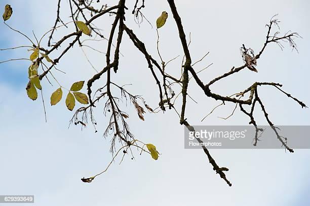 Ash Fraxinus excelsior