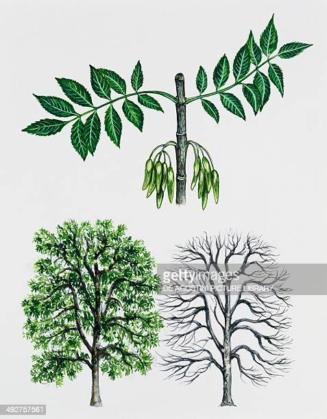 Ash or European ash Oleaceae tree with and without foliage leaves and fruits illustration