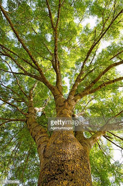 ash (fraxinus excelsior) - ash stock pictures, royalty-free photos & images