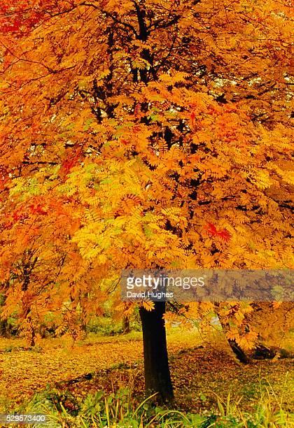 Ash tree, autumn foliage, Peak District National Park, Derbyshire, England, UK, Europe