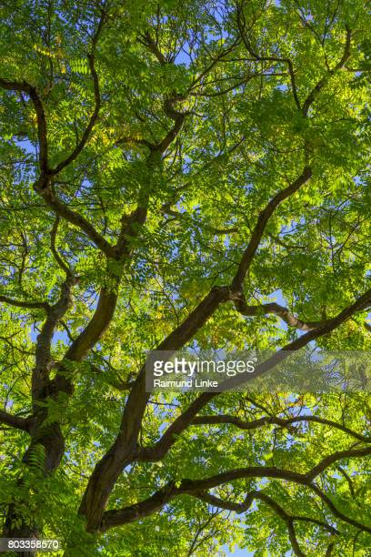 Ash tree, Fraxinus, tree krone with leaves, Bavaria, Germany