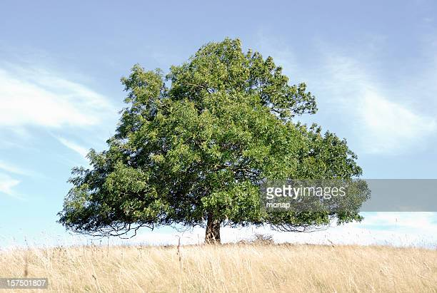 ash tree, horizontal - ash stock pictures, royalty-free photos & images