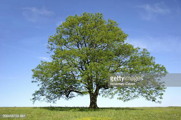 ash (fraxinus sp.) tree in field, spring - ash stock pictures, royalty-free photos & images