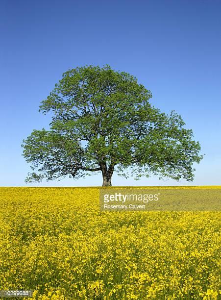 Ash tree in spring in crop of oil seed rape.