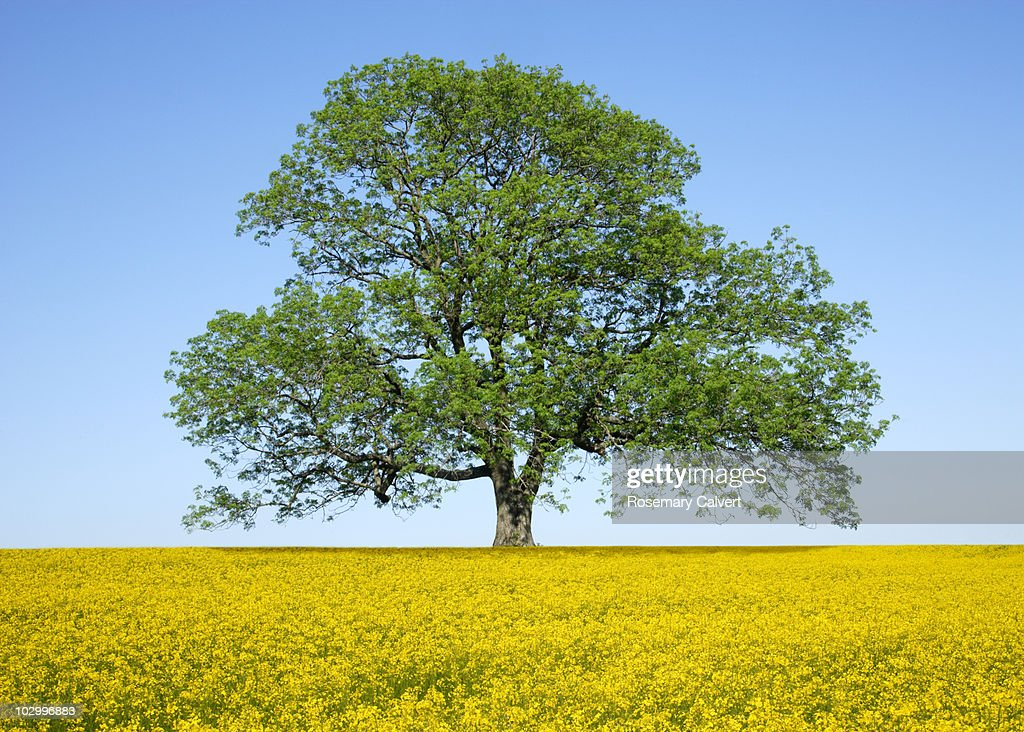 Ash tree in spring surrounded by oil seed rape. : Stock Photo