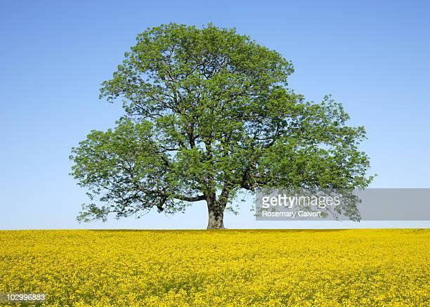 ash tree in spring surrounded by oil seed rape. - ash tree bildbanksfoton och bilder