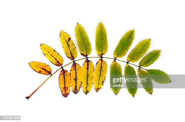 ash tree leaf in autumn - ash stock pictures, royalty-free photos & images