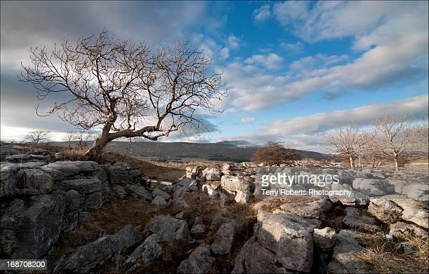 Ash tree on limestone wilderness