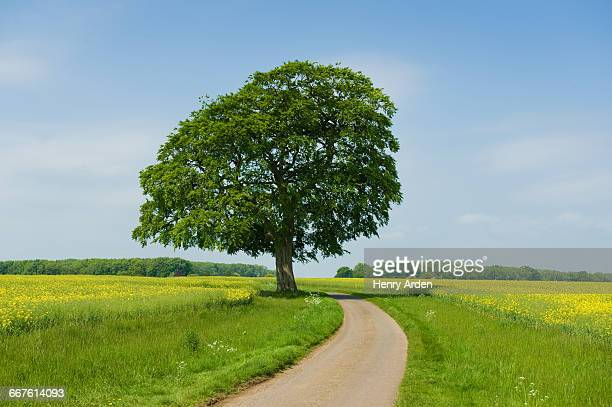 ash tree on rural road at spring - ash stock pictures, royalty-free photos & images