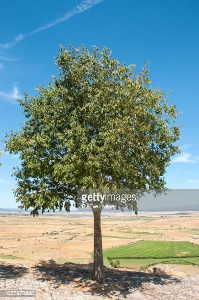 ash tree - ash tree bildbanksfoton och bilder