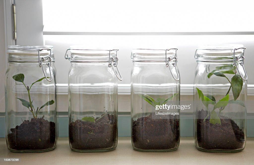 Ash tree sapling in preserving jar : Stockfoto
