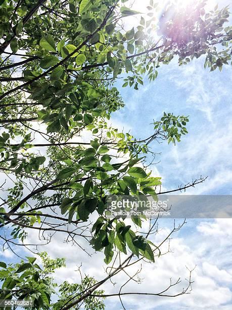 Ash Tree With Ash Borer Infestation