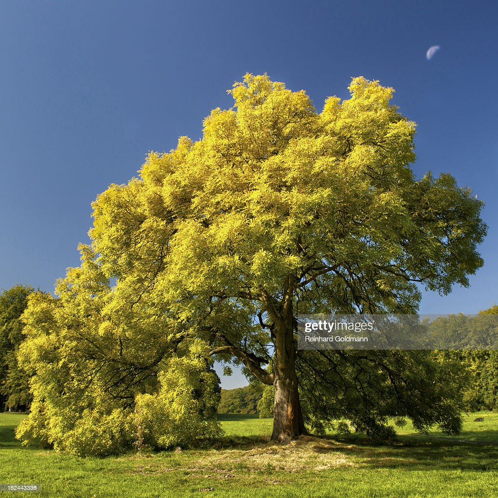 Ash tree with decrescent moon : Stock Photo