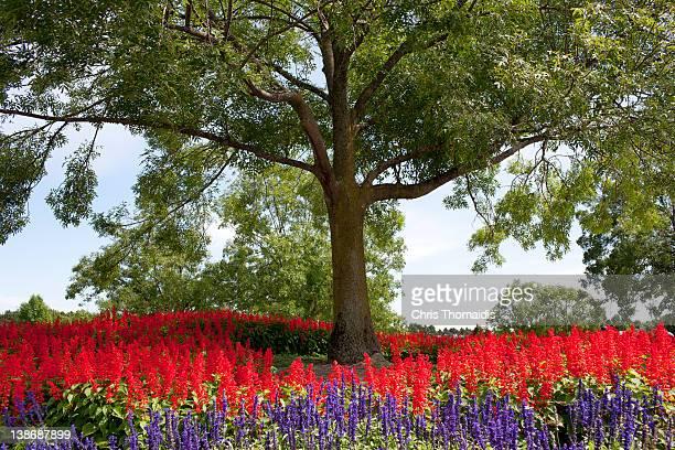 ash tree with planted flower bed. - ash tree bildbanksfoton och bilder