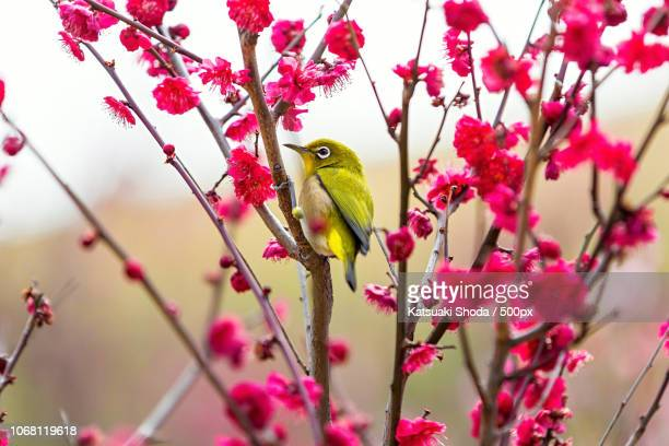 ashiya, japan - american goldfinch stock pictures, royalty-free photos & images