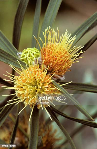 Ashy hakea Hakea cinerea flowers close up origin southwestern Western Australia Australia photo Joseph Banks Gardens Sydney New South Wales Australia
