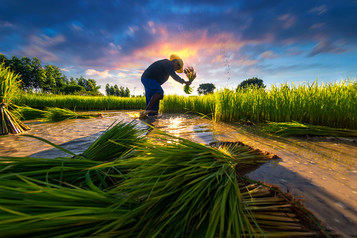 Asia agriculture farmer are working in rural rice fields in Southeast Asian countries. - gettyimageskorea