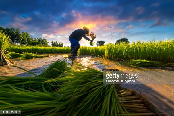 asia agriculture farmer are working in rural rice fields in southeast asian countries. - asian farmer ストックフォトと画像