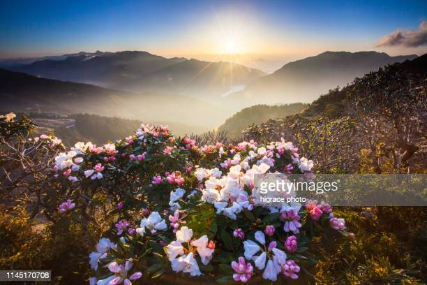 asia - beautiful landscape of highest mountains,rhododendron, yushan rhododendron (alpine rose) blooming by the trails of taroko national park, nantou,taiwan - valley stock pictures, royalty-free photos & images