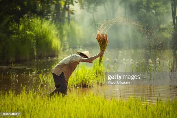 asia farmer transplanted rice seedlings to be sent for planting in rice field - myanmar stock pictures, royalty-free photos & images