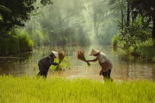 Asia farmer transplanted rice seedlings to be sent for planting in rice field - gettyimageskorea