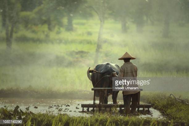 Asia farmers are using buffalo to plow preparing rice for planting