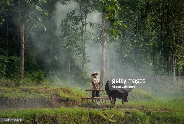 Asia farmers are using buffalo to plow preparing rice