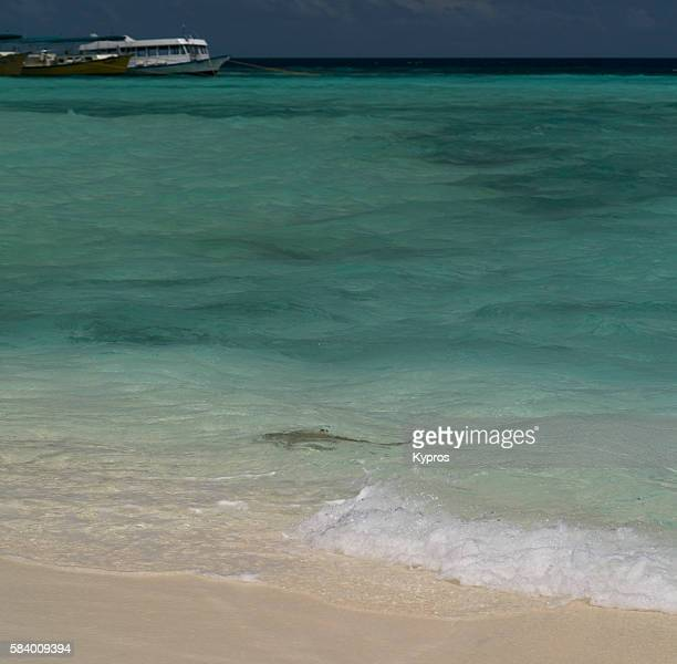 Asia, Maldives, View Of Black Tipped reef Shark CLose To Shore, Swimming, Indian Ocean