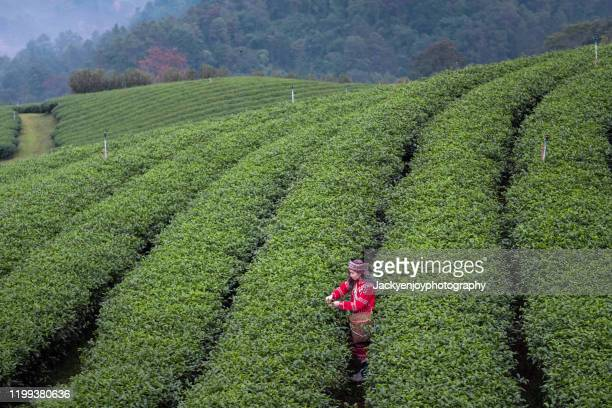 asia worker farmer women were picking tea leaves for traditions in the sunrise morning at tea plantation nature, thailand. lifestyle concept - tea crop stock pictures, royalty-free photos & images