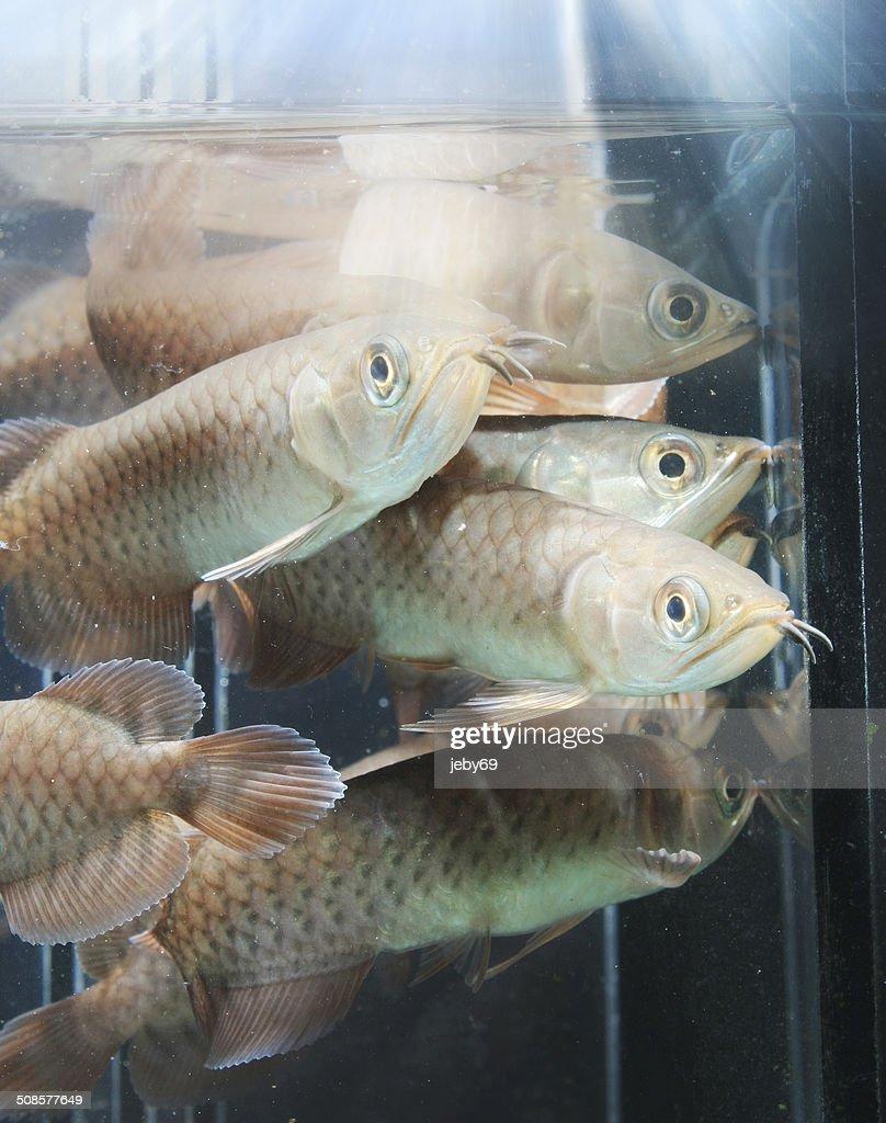 Asiatische Arowana : Stock-Foto