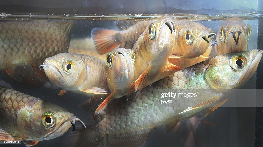 Asian Arowana : Stock Photo