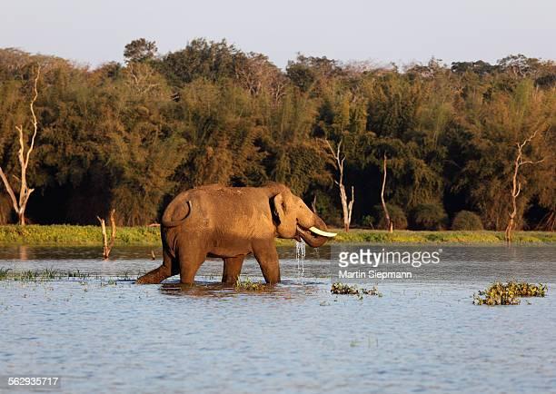 Asian, Asiatic or Indian elephant -Elephas maximus-, male, Kabini Reservoir, Rajiv Gandhi National Park, Nagarhole National Park, Karnataka, South India, India, South Asia, Asia