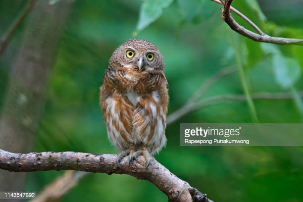 asian barred owlet glaucidium cuculoides beautiful birds of thailand - perching stock pictures, royalty-free photos & images