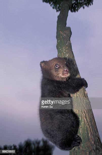 Asian Black Bear cub on the tree