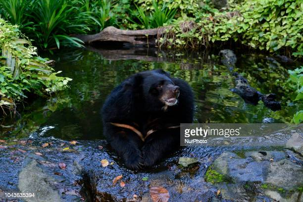 Asian Black Bear inside a cage at Dusit Zoo in Bangkok Thailand 30 September 2018 Dusit Zoo is Thailand's first public zoo opened 80 years ago on 18...
