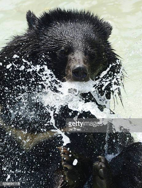 A Asian black bear plays in a pond at a zoo in Chengdu Sichuan province southwest China 29th April 2015