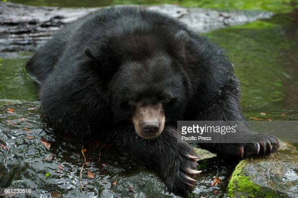 Asian black bear sleeping during hot day at Dusit Zoo in Bangkok Thailand