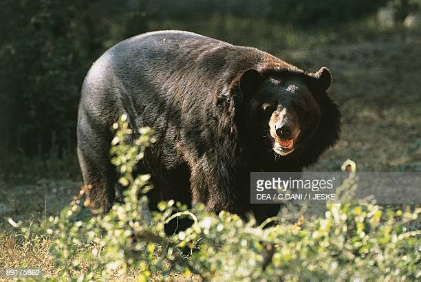 Asian black bear standing in the forest