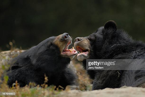 Asian Black Bears tussle at the Darjeeling Zoo Formally known as the Padmaja Naidu Himalayan Zoological Park the Darjeeling Zoo was opened in 1958 to...