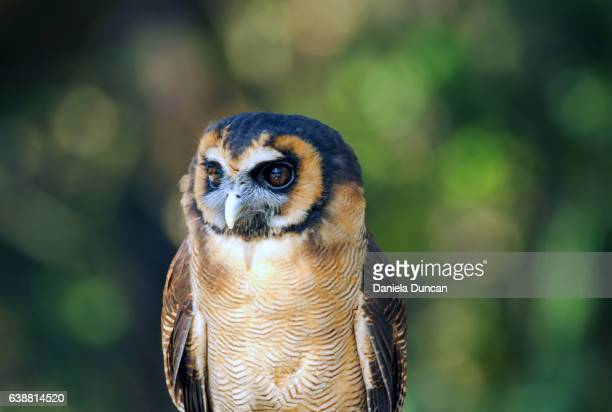 Asian Brown Wood Owl