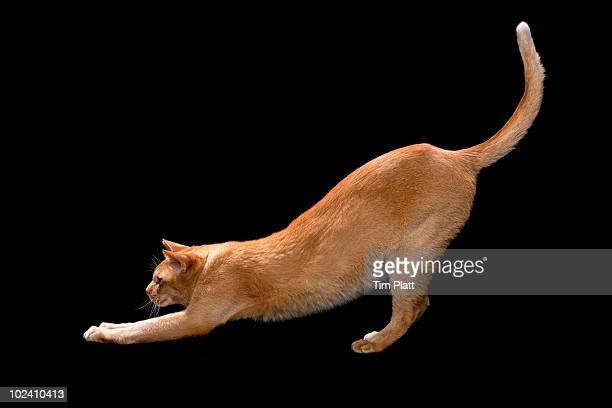 Asian cat stretching.