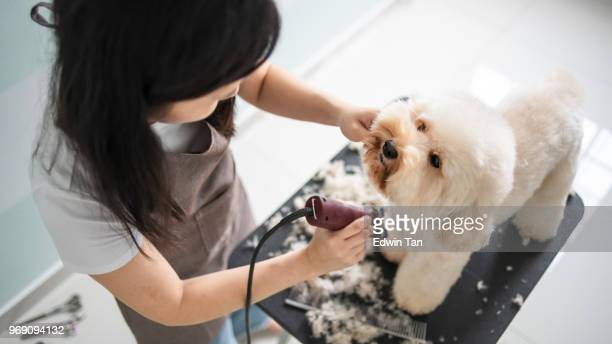 asian chinese female pet groomer with apron grooming a brown color toy poodle dog