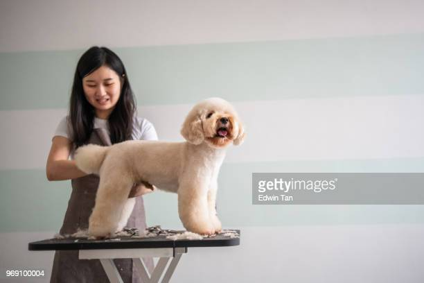 asian chinese female pet groomer with apron grooming a brown color toy poodle dog - pet grooming salon stock pictures, royalty-free photos & images