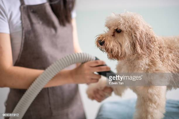 asian chinese female pet groomer with apron grooming and blow drying a brown color toy poodle dog