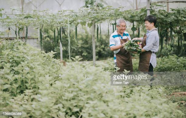 asian chinese mid adult woman helping her father in the farm greenhouse - free images stock pictures, royalty-free photos & images