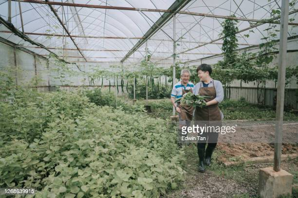 asian chinese mid adult woman helping her father in the farm greenhouse - mint plant family stock pictures, royalty-free photos & images